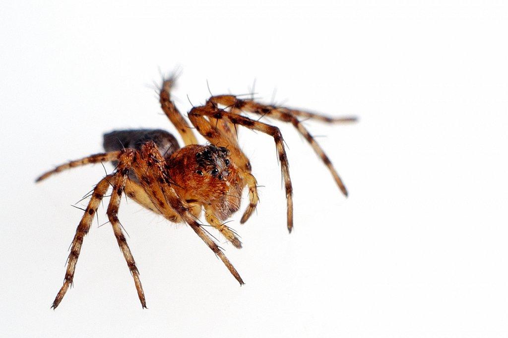 Orange/Brown Spider